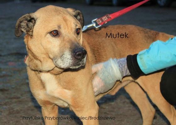 Mutek ist ca.8 Jahre alt und ein kräftiger, verspielter, freundlicher Hund. Er wurde alleine und verlassen auf der Strasse gefunden.Er ist mittelgroß und bullig.