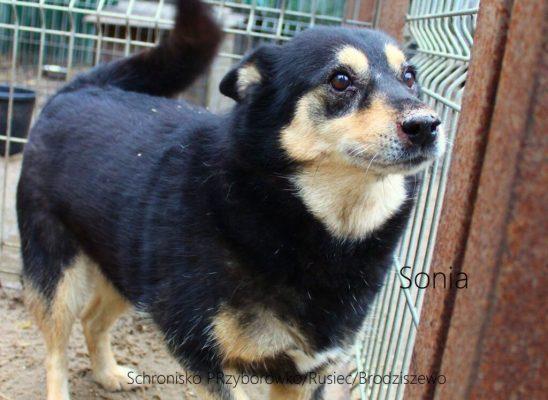 Sonia, ca. 2012 geb., ist ein Hund mit goldenem Herzen, ein Engel in Kontakt mit. Sie fährt sehr gerne Auto, sie liebt Spaziergänge (sie ist vorbildlich an der Leine). Ruhig, ausgeglichen. Geboren um 2012, mittelgroß (knielang). Leider ist sie nicht mit anderen Tieren verträglich.