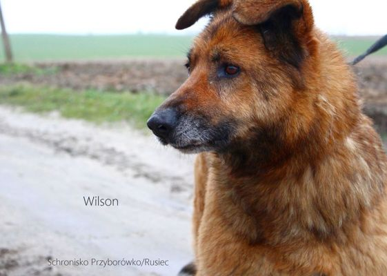 Patenhund Wilson: Wilson ist ein  Schäferhund-Mix, ruhig, ausgeglichen und freundlich. Vermutlich wurde er ausgesetzt. Wilson  ist ca 9 Jahre alt und damit hat er wenig Chancen auf eine Adoption.